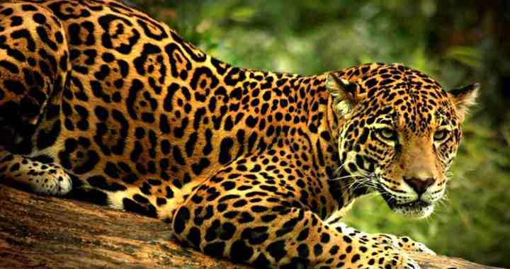 jaguar en arbol